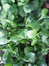 Winter Purslane (Claytonia) (October)