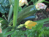 Courgettes ~ Tempra F1 (Late May)