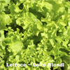 Lettuce ~ Lollo Biondi (March)