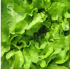 Lettuce ~ Green Salad Bowl (March)