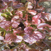 Lettuce ~ Red Oak Leaf (salad bowl) (August)