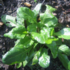 Perpetual Spinach (October)