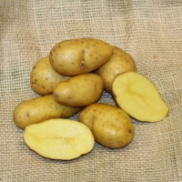 Scapa conventional seed potato (February)