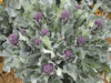 Purple sprouting broccoli ~ Red Fire (August)